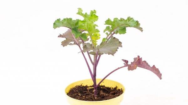 Flower Sprouts Pflanze Topf
